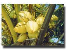 Coco Peat ,Coco Peats , Suppliers of coconut products ,
