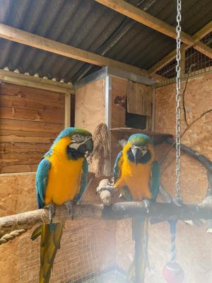 Blue And Gold Pair Of Macaws