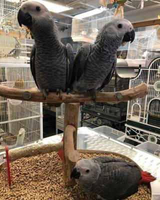 Hand Fed & Dna tested Baby, adult parrots with fertilized parrot eggs